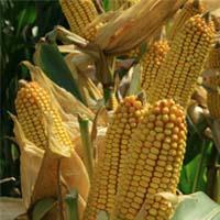 Landwirtschaft News & Agrarwirtschaft News @ Agrar-Center.de | Foto: EURALIS Saaten GmbH ist ein deutsches Saatgut-Unternehmen der französischen Groupe EURALIS.