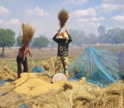 Landwirtschaft News & Agrarwirtschaft News @ Agrar-Center.de | Agrar-Center.de - Agrarwirtschaft & Landwirtschaft. Foto: Reisdreschen in Isaan / Thailand (Foto: C. Schneider, Proplanta).