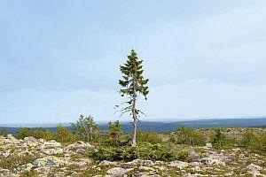 Nordrhein-Westfalen-Info.Net - Nordrhein-Westfalen Infos & Nordrhein-Westfalen Tipps | Der älteste Baum der Welt