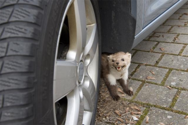 Versicherungen News & Infos | Mit dem Frühling kommt der Marder: Wer auf der Straße parkt, muss besonders in dieser Jahreszeit damit rechnen, dass das kleine Raubtier Kabel und Schläuche zerbeißt.   Foto: HUK-COBURG