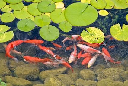Aquaristik-Infos-247.de - Aquaristik Infos & Aquaristik Tipps | Kois, die den Teichbesitzer begrüßen.