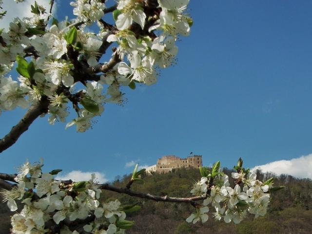Rheinland-Pfalz-Info.Net - Rheinland-Pfalz Infos & Rheinland-Pfalz Tipps | Radeln und Wandern zur Obstbaumblüte und Rapsblüte an der Deutschen Weinstraße