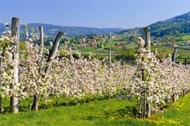 Oesterreicht-News-247.de - Österreich Infos & Österreich Tipps | Wenn in der Oststeiermark eine halbe Million Obstbäume blühen, trägt die ganze Region weiß-rosa