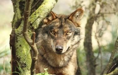 Landwirtschaft News & Agrarwirtschaft News @ Agrar-Center.de | Frei lebende Wölfe kehren nur langsam nach Deutschland zurück - für den Menschen stellen sie keine Bedrohung dar!