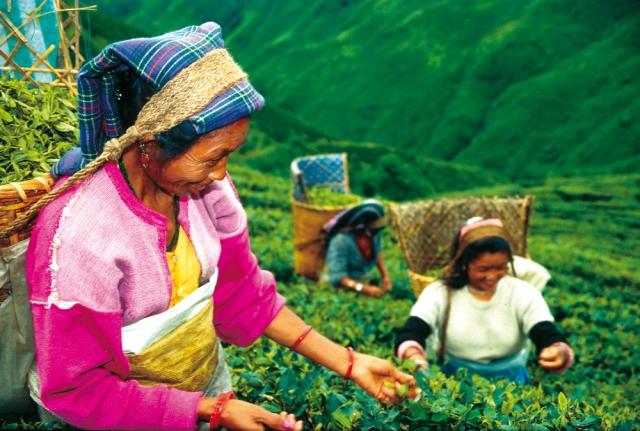 CMS & Blog Infos & CMS & Blog Tipps @ CMS & Blog-News-24/7.de | Biotee Plückerinnen in Darjeeling