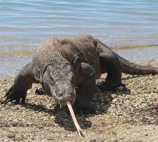 Australien News & Australien Infos & Australien Tipps | Die letzten ihrer Art: Ein Komodo Waran auf Rinca.