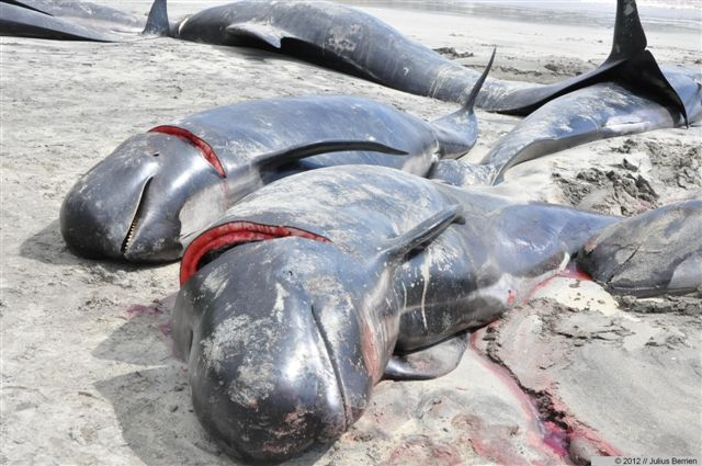 Tier Infos & Tier News @ Tier-News-247.de | Frisch geschlachtete Wale auf den Faröer-Inseln