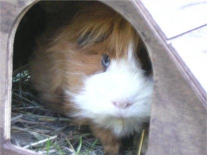 Tier Infos & Tier News @ Tier-News-247.de | Meerschweinchen Pumuckel wurde gerettet