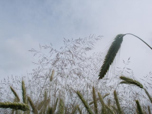 Medien-News.Net - Infos & Tipps rund um Medien | BeFlex: bekämpft neben breitblättrigen Unkräutern auch das Problem Windhalm