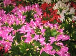 Pflanzen Tipps & Pflanzen Infos @ Pflanzen-Info-Portal.de | Schlumbergera - auch als Weihnachtskaktus bekannt