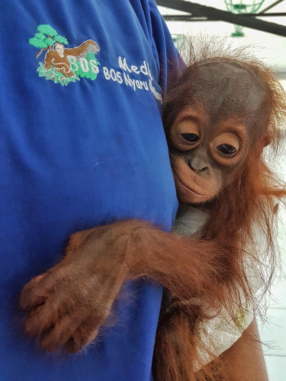 Geretteter Orang-Utan-Junge in der Obhut seiner Pfleger | Freie-Pressemitteilungen.de