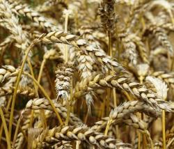Landwirtschaft News & Agrarwirtschaft News @ Agrar-Center.de | Foto: Getreide- und Ölsaatenmarkt in Deutschland (Foto: Proplanta).