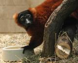 Zoo-News-247.de - Zoo Infos & Zoo Tipps | Foto: Neu: Rote Varis im Tropenhaus des Erlebnis-Zoo Hannover.