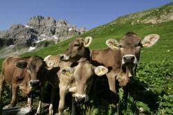 Landwirtschaft News & Agrarwirtschaft News @ Agrar-Center.de | Foto: Freundschaft unter Kühen – wie Verhaltensforscher beobachteten verbringen Kühe häufig ihr gesamtes Leben mit den gleichen Artgenossen einer Herde. Bildquelle: LVBM.