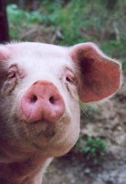 Landwirtschaft News & Agrarwirtschaft News @ Agrar-Center.de | Foto: Schweine und Wildschweine sind oft mit Influenza durchseucht.