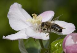 Landwirtschaft News & Agrarwirtschaft News @ Agrar-Center.de | Foto: Für viele Kultur- und Wildpflanzen bedeutet die Blütenbestäubung durch Bienen reichen Fruchtertrag. Aus diesem Grund soll ein neues Projekt im Landkreis Rhön-Grabfeld und angrenzenden Gebieten die Imkerei fördern. Foto: Eckhard Jedicke.
