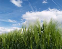Landwirtschaft News & Agrarwirtschaft News @ Agrar-Center.de | Foto: Gerstenbestand bei Sonne (Foto: Proplanta).