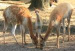 Zoo-News-247.de - Zoo Infos & Zoo Tipps | Foto: Vikunja Paulo ist der Mittelpunkt der Südamerikaanlage.