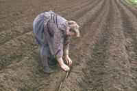 Landwirtschaft News & Agrarwirtschaft News @ Agrar-Center.de | Foto: Mit dem Kopf gen Osten werden die Krenfechser in die Ackerfurchen gelegt.