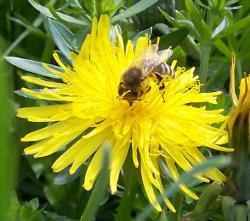 Landwirtschaft News & Agrarwirtschaft News @ Agrar-Center.de | Foto: Biene auf Löwenzahnblüte.