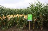 Landwirtschaft News & Agrarwirtschaft News @ Agrar-Center.de   Foto: Maissorte FARMSTAR.