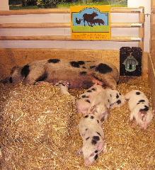 Landwirtschaft News & Agrarwirtschaft News @ Agrar-Center.de | Foto: Über solche Tierhaltung freuen sich Tierschützer, denn diesen Schweinen wird wenigstens ein einigermaßen gutes Leben ermöglicht, bevor sie geschlachtet werden..