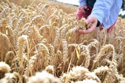 Landwirtschaft News & Agrarwirtschaft News @ Agrar-Center.de | Foto: Eine reife Ähre des verbesserten Weizens (Nadja Sonntag)