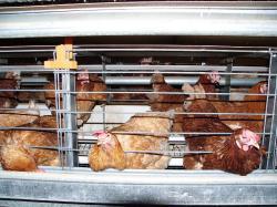 Landwirtschaft News & Agrarwirtschaft News @ Agrar-Center.de | Agrar-Center.de - Agrarwirtschaft & Landwirtschaft. Foto: Bis zu 60 Legehennen vegetieren in den neuen Drahtgitter-Käfigen, die in verbrauchertäuschender Absicht als >>> Kleingruppenhaltung << bezeichnet werden. ©Ingrid Wendt / AGfaN e.V..