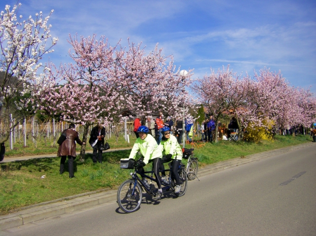 Medien-News.Net - Infos & Tipps rund um Medien | Die Mandelblüte in der Pfalz kann man besonders gut mit dem Rad erleben - auch mit dem Tandem oder besonders bequem mit dem Pedelec.