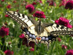 Orchideen-Seite.de - rund um die Orchidee ! | Foto: In Süddeutschland, Österreich und der Schweiz sieht man den auffälligsten Schmetterling Mitteleuropas häufiger - hier sitzt der Schwalbenschwanz auf einer Skabiose (Scabiosa atropurpurea) in einem sonnigen Garten im Berner Unterland.