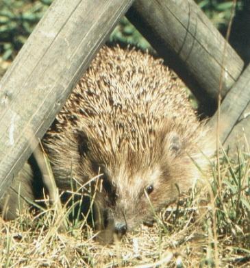 Tier Infos & Tier News @ Tier-News-247.de | Tierfreunde erhalten Tipps bei der Igel-Hotline von Pro Igel e.V.