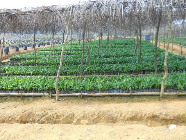 Afrika News & Afrika Infos & Afrika Tipps @ Afrika-123.de | Ölpalmen-Setzlinge geheihen prächtig - Plantage entsteht trotz richerlicher Verfügung