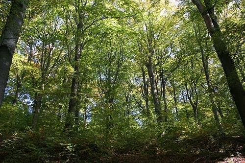 Hamburg-News.NET - Hamburg Infos & Hamburg Tipps | Alte Buchenwälder sollten nach Ansicht der Umweltverbände unbedingt erhalten werden