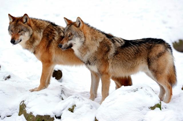 Pflanzen Tipps & Pflanzen Infos @ Pflanzen-Info-Portal.de | Tag des Artenschutzes - Foto: © Ralph Frank / WWF, Wolf (Canis lupus lupus)