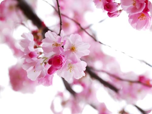 Kosmetik-247.de - Infos & Tipps rund um Kosmetik | Japanische Kirschblüte