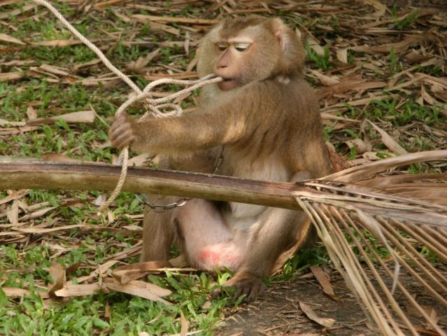Ost Nachrichten & Osten News | Affe beim öffnen eines Knotens