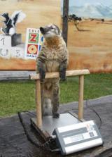 Zoo-News-247.de - Zoo Infos & Zoo Tipps | Foto: Zählen, messen, wiegen: Showstar Nasenbär Diego auf der Waage!