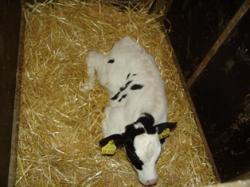 Landwirtschaft News & Agrarwirtschaft News @ Agrar-Center.de | Agrar-Center.de - Agrarwirtschaft & Landwirtschaft. Foto: Bereits als Kalb werden alle Voraussetzungen für die Gesundheit und damit Wirtschaftlichkeit der späteren Milchkuh gelegt.