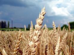Landwirtschaft News & Agrarwirtschaft News @ Agrar-Center.de | Foto: Mit den ersten Schockwellen der Finanzkrise geriet auch der Weizenpreis sowie auch die Preise für Soja und Mais stark unter Druck.
