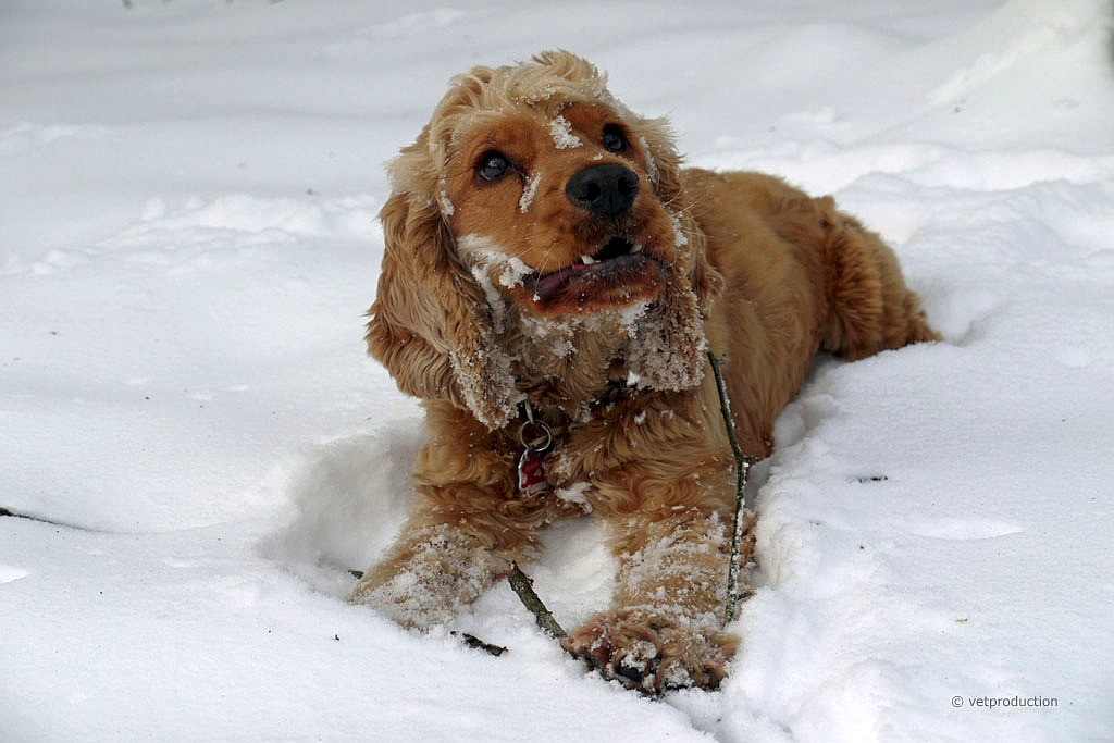 News - Central: Viele Hunde fürchten sich vor dem Silvesterlärm. Foto: vetproduction