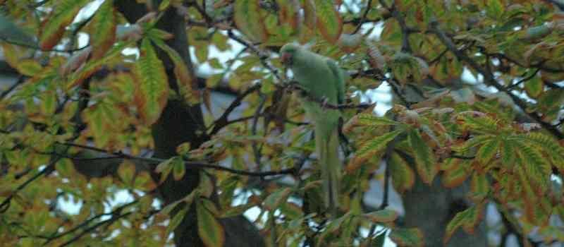 Freilebende Papageien in Deutschland: In vielen Städten des Rhein-Main-Gebietes sind die intelligenten Vögel in den letzten Jahrzehnten heimisch geworden!