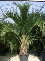 Italien-News.net - Italien Infos & Italien Tipps | Palmen als Leihpflanzen sind ein Sommertrend 2013