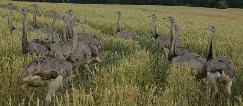 Karlheinz Busen, jagdpolitischer Sprecher der FDP- Bundestagsfraktion, fordert die Jagd auf Nandus in Mecklenburg-Vorpommern und warnt: Die Großvögel suchen sich schnell bundesweit Lebensraum!