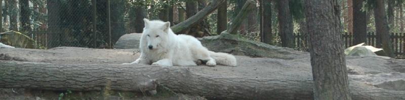 Deutsche-Politik-News.de | Wolf Wildpark Lüneburg 2012