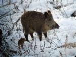Landwirtschaft News & Agrarwirtschaft News @ Agrar-Center.de | Foto: Jagd auf Wildschweine ist kontraproduktiv.