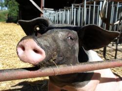 Landwirtschaft News & Agrarwirtschaft News @ Agrar-Center.de | Agrar-Center.de - Agrarwirtschaft & Landwirtschaft. Foto: Neugieriges Schwein auf dem Aspichhof in Ottersweier (Foto: Proplanta).