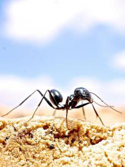 Afrika News & Afrika Infos & Afrika Tipps @ Afrika-123.de | Foto: Die Wüstenameise Cataglyphis fortis lebt in kargen Salzpfannen im wüstenhaften Süden Tunesiens. (Markus Knaden / Max-Planck-Institut für chemische Ökologie )