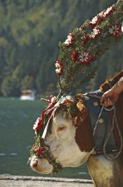 Landwirtschaft News & Agrarwirtschaft News @ Agrar-Center.de | Agrar-Center.de - rund um Agrarwirtschaft & Landwirtschaft. Foto: Almabtrieb über den Königssee-Wenn die Saison gut verlaufen ist, werden die Kühe geschmückt.