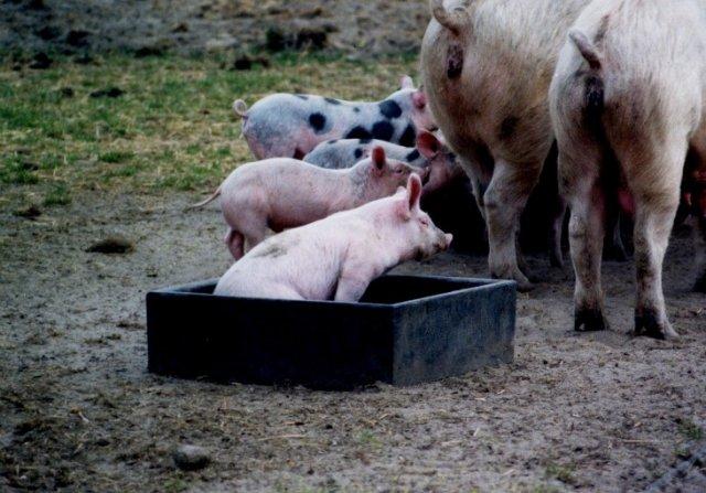 Hildebrandt-in-Berlin.de | Foto: Ökoschweine - Sau mit Ferkeln in Biolandgerechter Haltung!