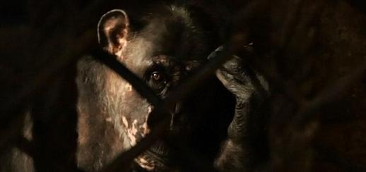 Tier Infos & Tier News @ Tier-News-247.de | Einer der beiden Schimpansen in dem kleinen Verschlag hinter Gittern (Foto: animal public e.V.)